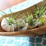 Air Plants in Sea Shells