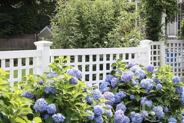 Hydrageas White Fence