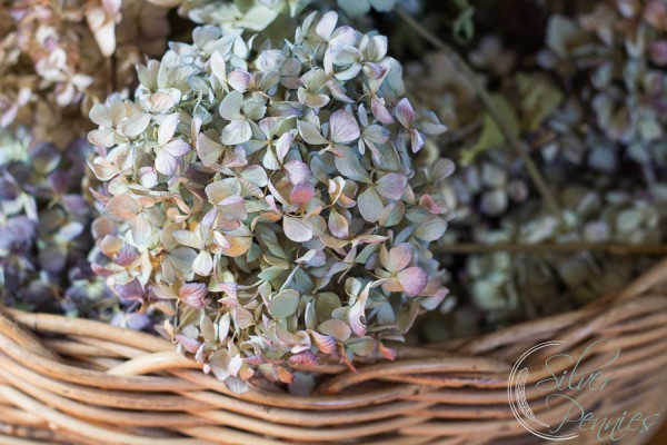 Dried Hydgrangea