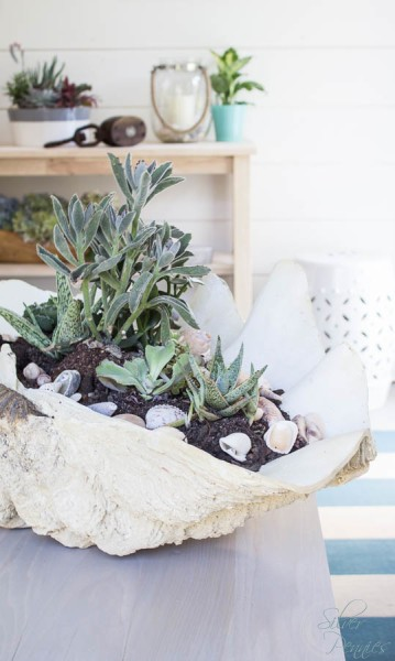 Giant Clam Shell with succulents