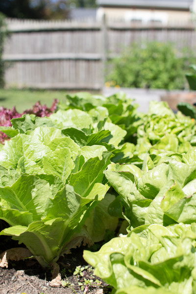 Delicious lettuce fresh for picking!