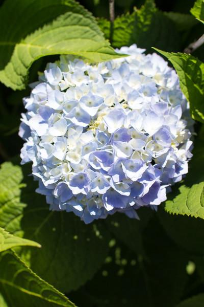 How to get beautiful hydrangeas.