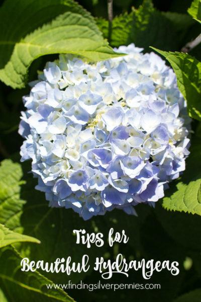 Tips for Beautiful Hydrangeas