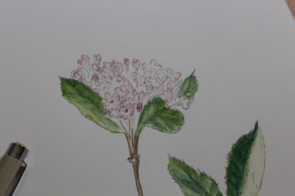 Pen and Watercolor Botanical I Finding Silver Pennies