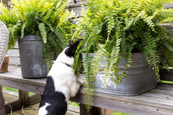 Pretty Boston Ferns add Farmhouse Charm I Finding Silver Pennies