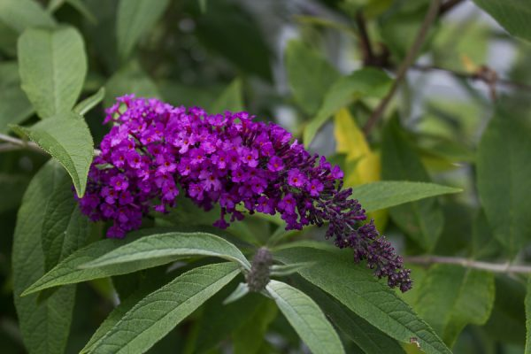 Attract hummingbirds and butterflies with a butterfly bush.