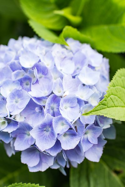 Glorious summer hydrangeas