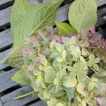 How to Dry Hydrangeas (& a feature in Woodcraft Magazine)