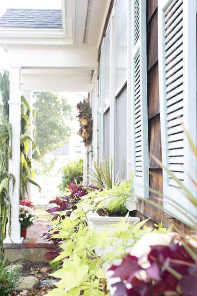 Fall window boxes with trailing potato vines and blue shutters
