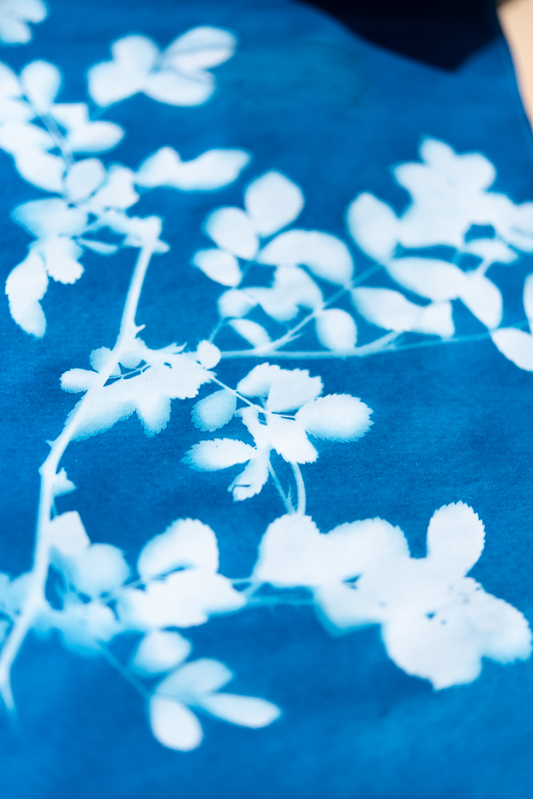 Climbing Rose Sunprints and How to Make Them - Finding Silver Pennies