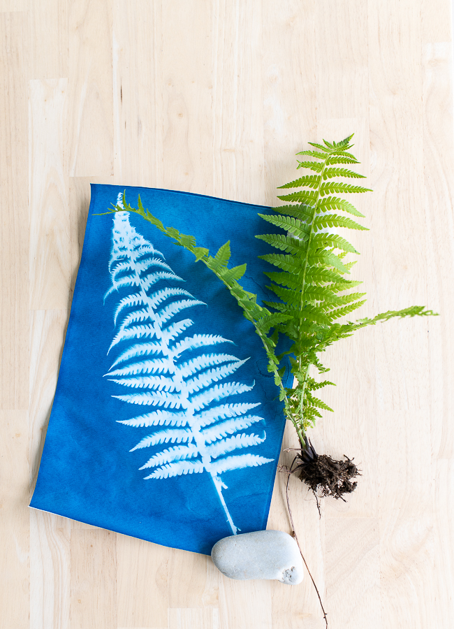 Pretty Fern Sunprints and How to Make them for Summer - Finding Silver Pennies