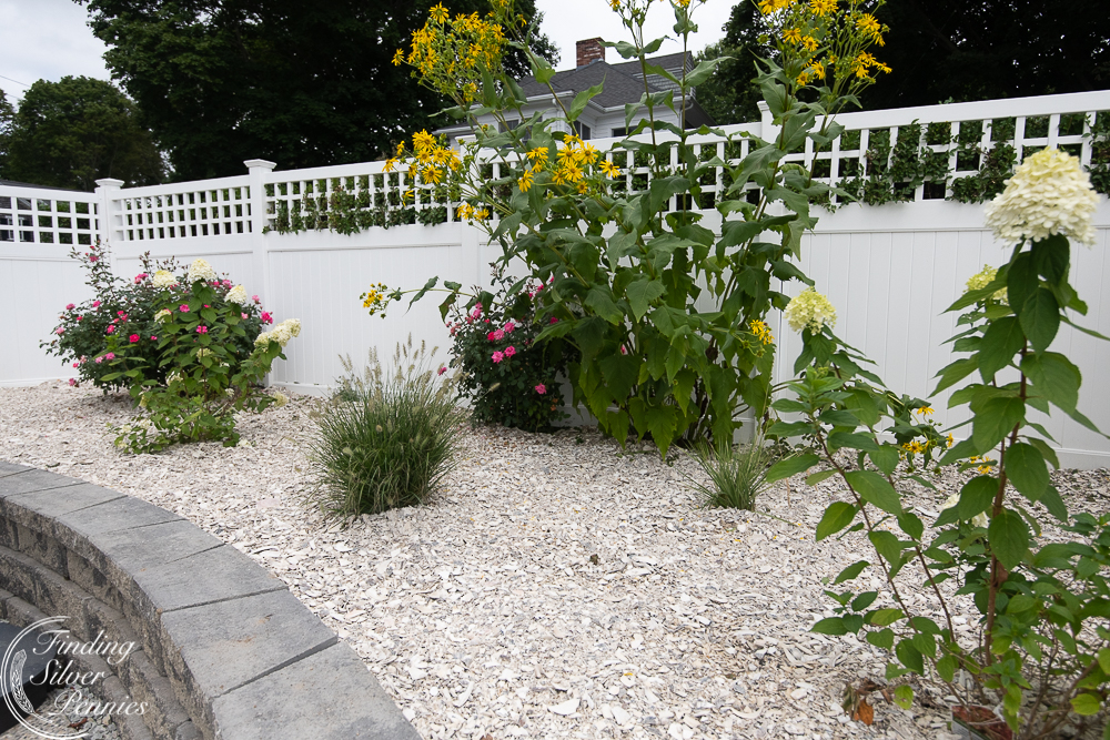 Landscaping in pool area with crushed shells, ornamental grasses, knock out roses and limelight hydrangeas - Finding Silver Pennies