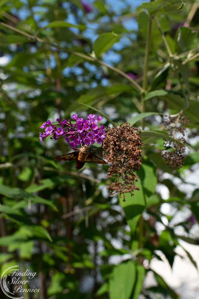 Hummingbird Moth and a Butterfly Bush - Finding Silver Pennies