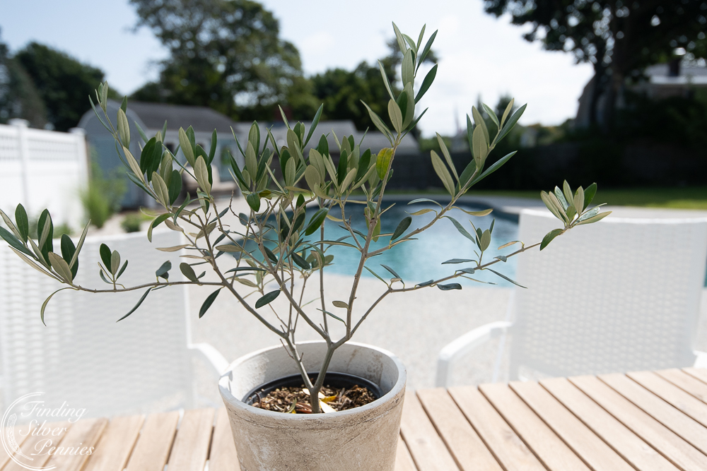 Olive plant and simple styling for a pool area - Finding Silver Pennies
