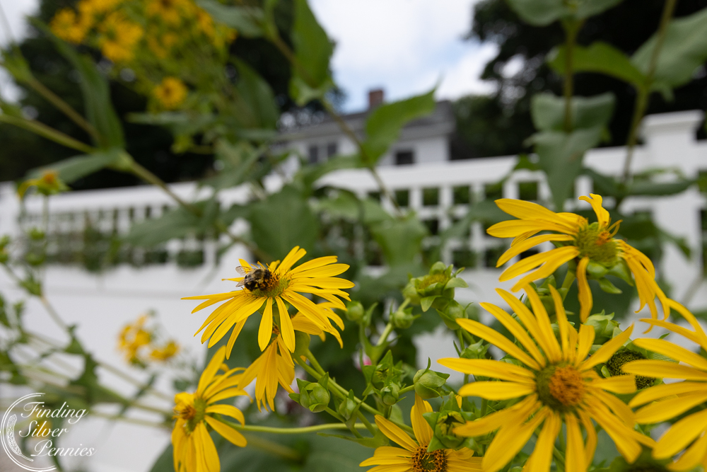 Bees and sunflowers - Finding Silver Pennies
