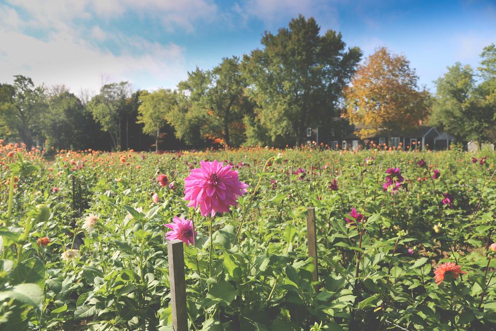 Fields and fields of dahlias, an interview with Cross Street Flower Farm #interview #flowerfarm #creativity